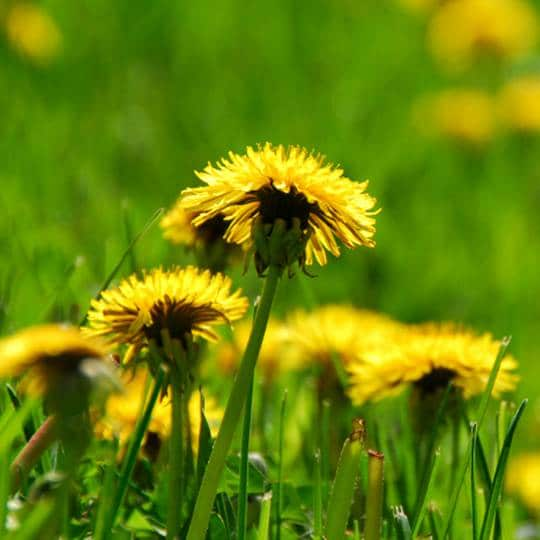 Dandelions Identification And Prevention