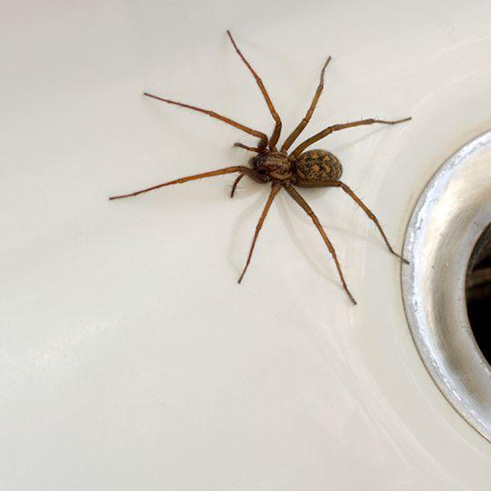 Spider in sink