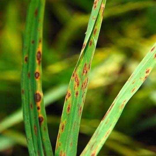 Leaf Spot and Melting-Out Disease