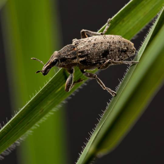 How to Fight a Billbug Lawn Infestation