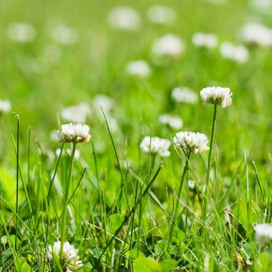 Controlling Clover in Your Lawn