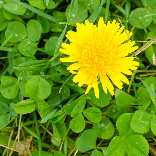 How to Get Rid of Dandelions Naturally