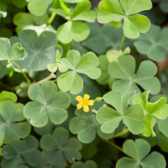 5 Tips to Control a Backyard Oxalis Invasion