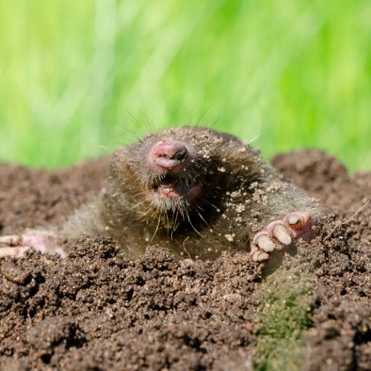 How to Protect Your Yard From Mole Damage