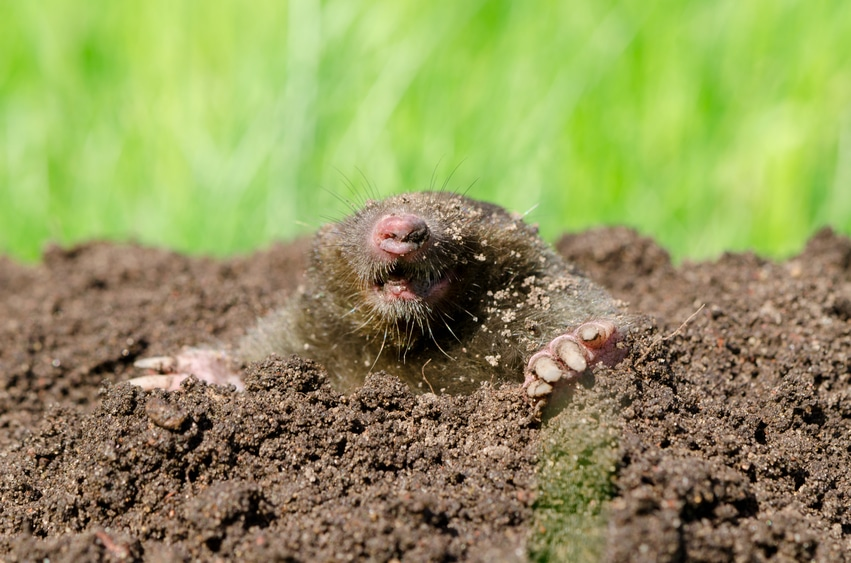 Prevent Moles From Digging Up Your Yard With These 5 Tips
