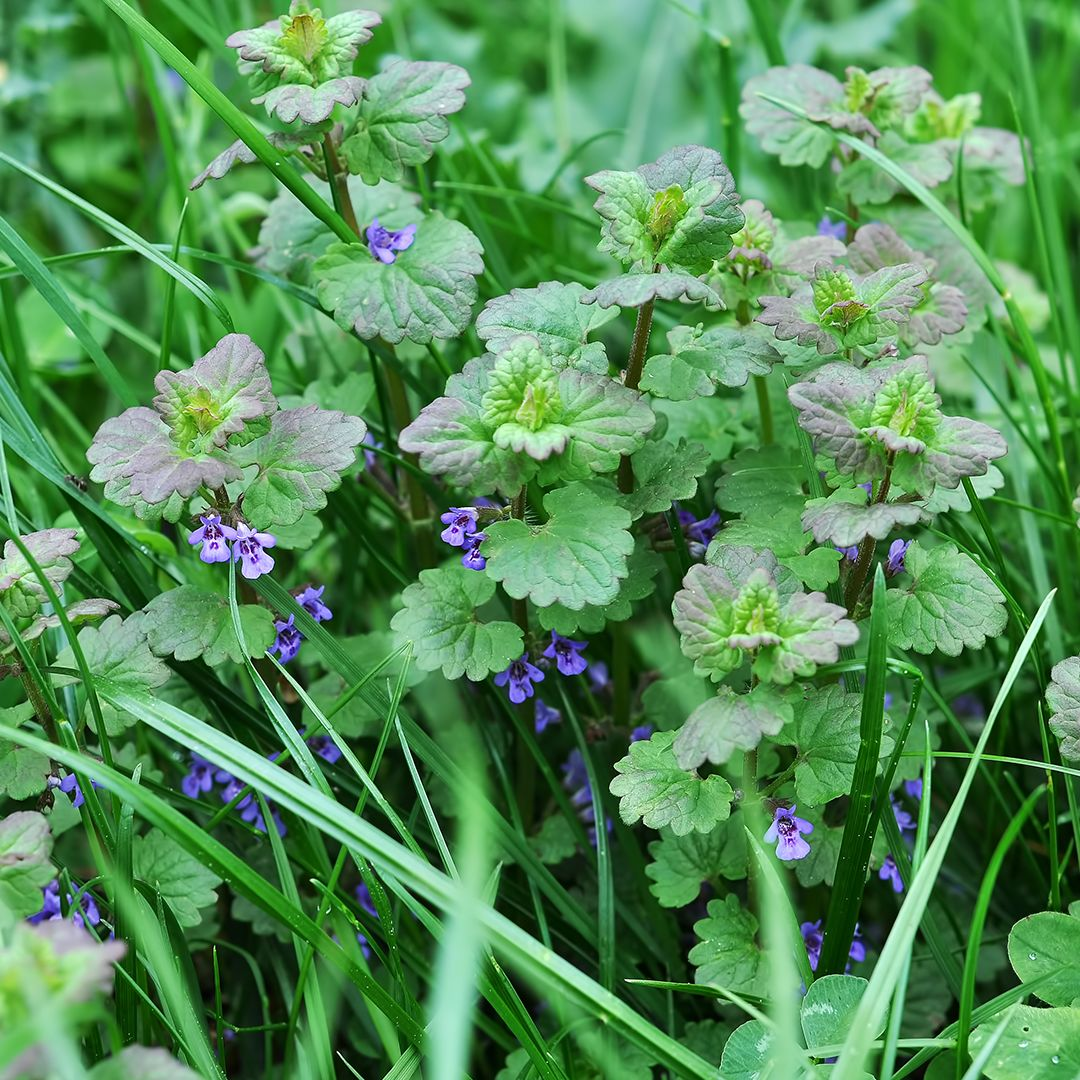 Best Lawn Fertilizer >> How to Treat and Control Henbit