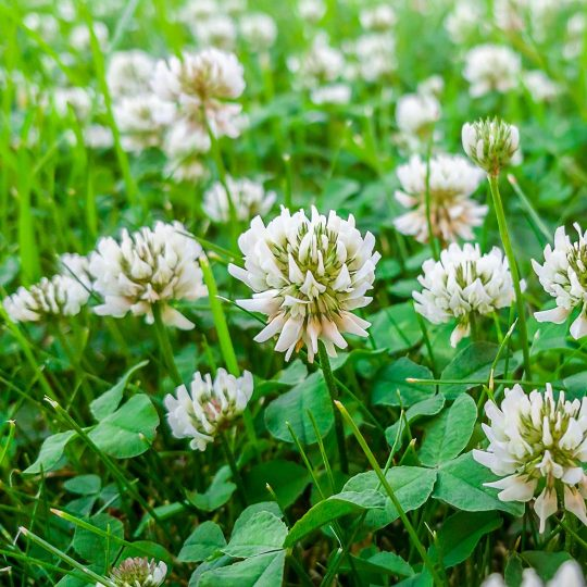 Clover in your lawn is it lucky or not cardinal lawns looking out across your lawn you may notice bunches of white flowers with bees buzzing around get closer and youll see the three leaves of the clover mightylinksfo
