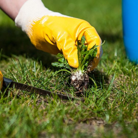 Lawn Care: The Difference between Broadleaf & Grassy Weeds