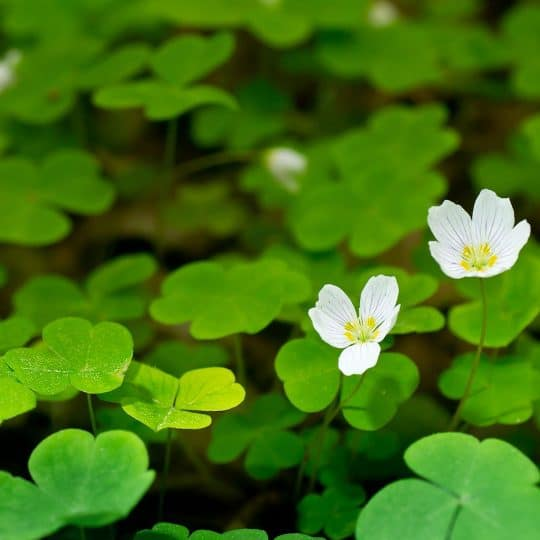 Weed management oxalis control cardinal lawns it covers the ground like miniature clover with little yellow flowers its a persistent plant that can be very difficult to treat mightylinksfo