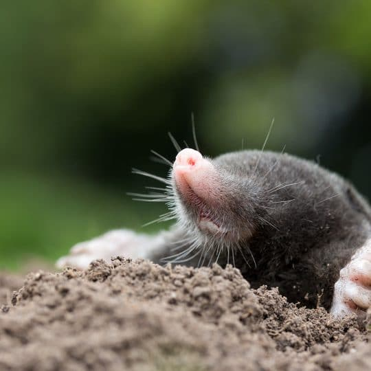 Mole Control Methods
