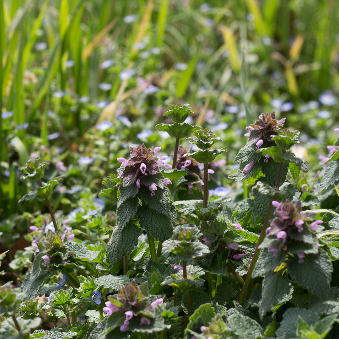 How To Control Henbit Cardinal Lawns