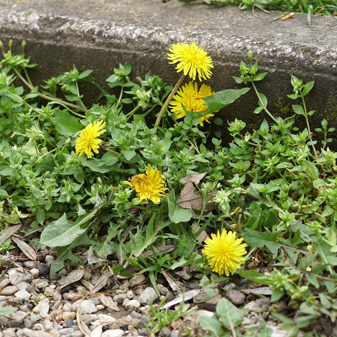 Summer Solutions For Pests Yard Work More: Difference Between Broadleaf And Grassy Weeds