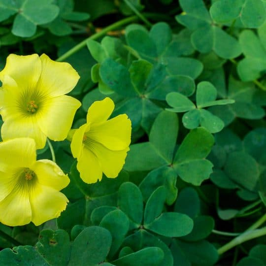 Pros and Cons of Oxalis