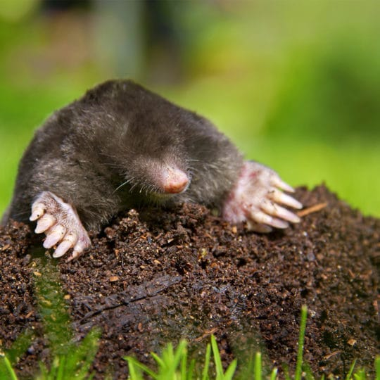 Protecting Your Lawn from Moles