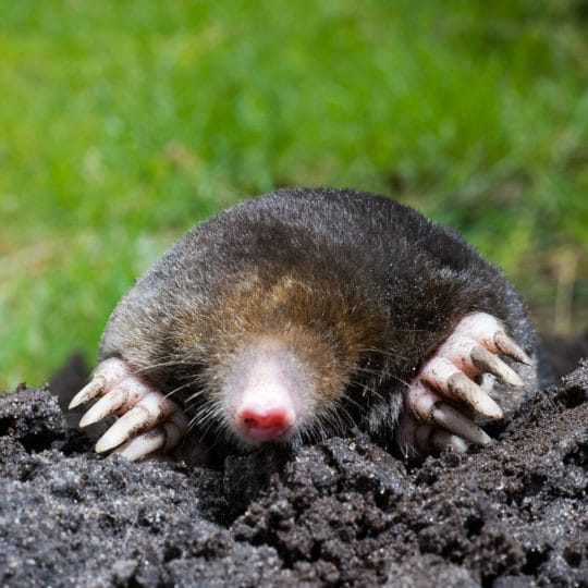 Best Methods of Mole Control