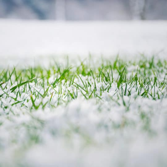Signs of Snow Mold