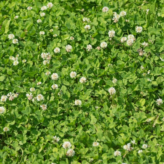 Benefits of Clover in Your Lawn