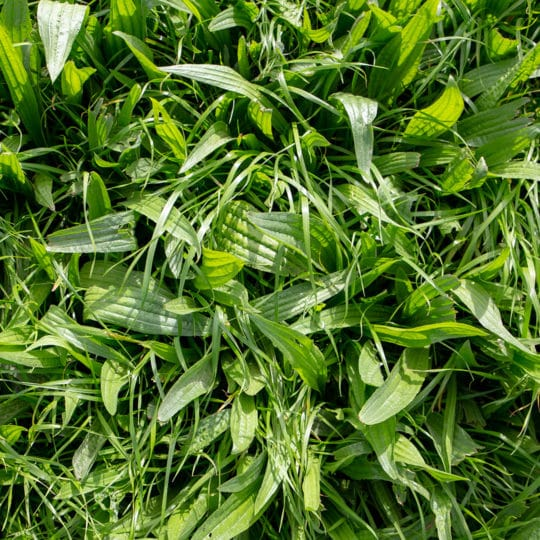 Difference between broadleaf and grassy weeds