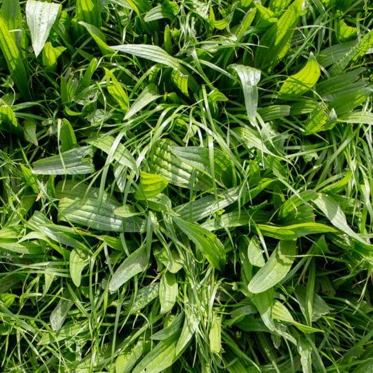 broadleaf-weed
