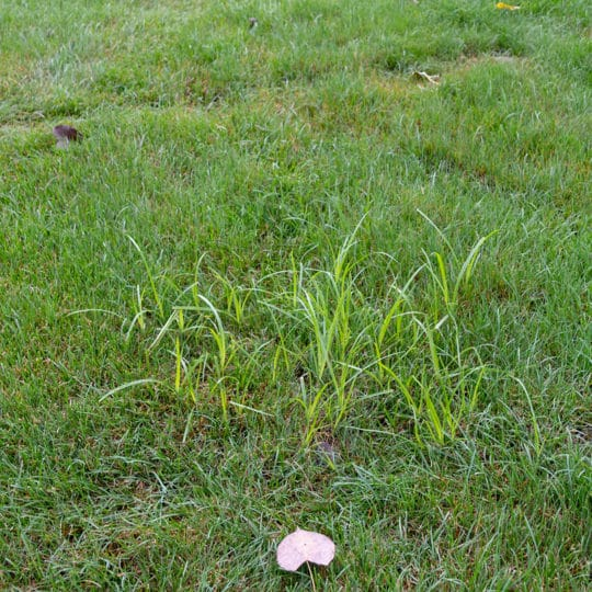 Nutsedge in the Lawn