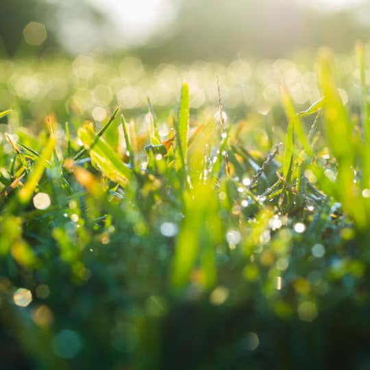 yellow-grass
