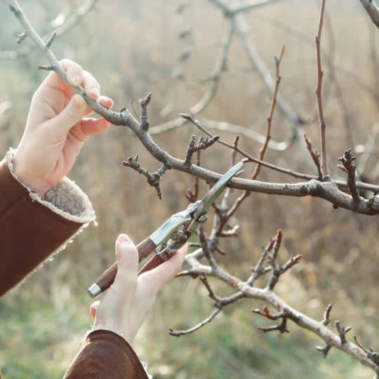 Winter Tree Pruning Tips