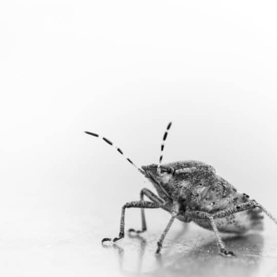 Chinch Bugs: Identification and Treatment