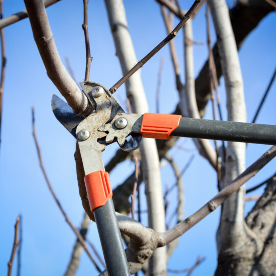 Winter Tree Pruning Tips