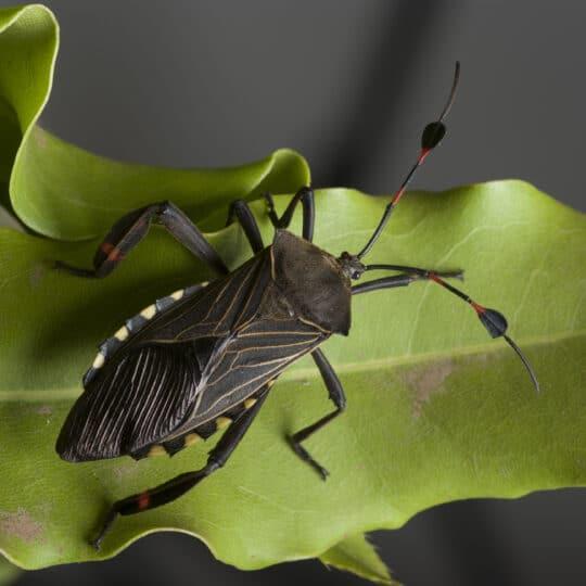 Chinch Bug Control